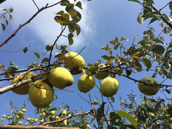 金木瓜的收获季节漫山遍野硕果累累