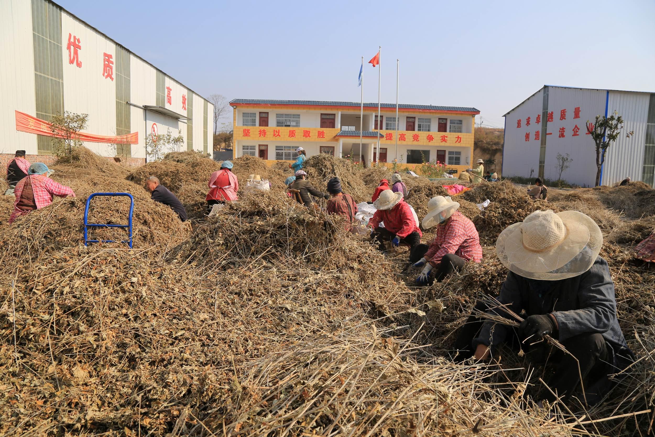 南召县石门乡弘康艾制品有限公司里群众在忙碌地分拣、捋叶。