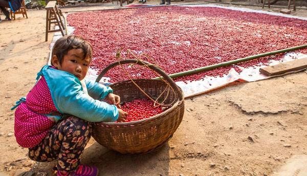 村民在整理晾晒采摘的山茱萸2 (2)