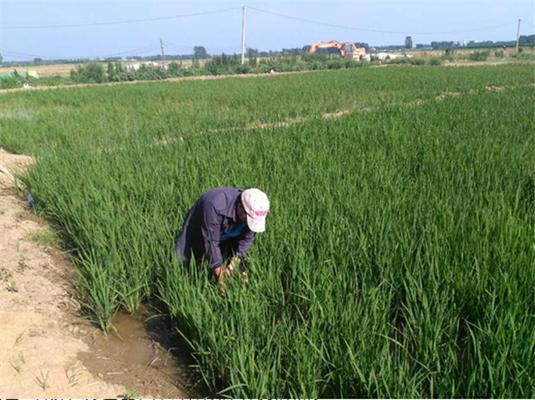 开源农业公司技术员在田间查看水稻生长情况。
