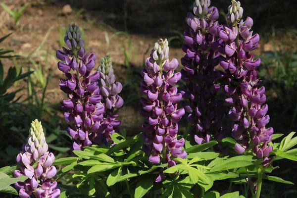 紫色鲁冰花