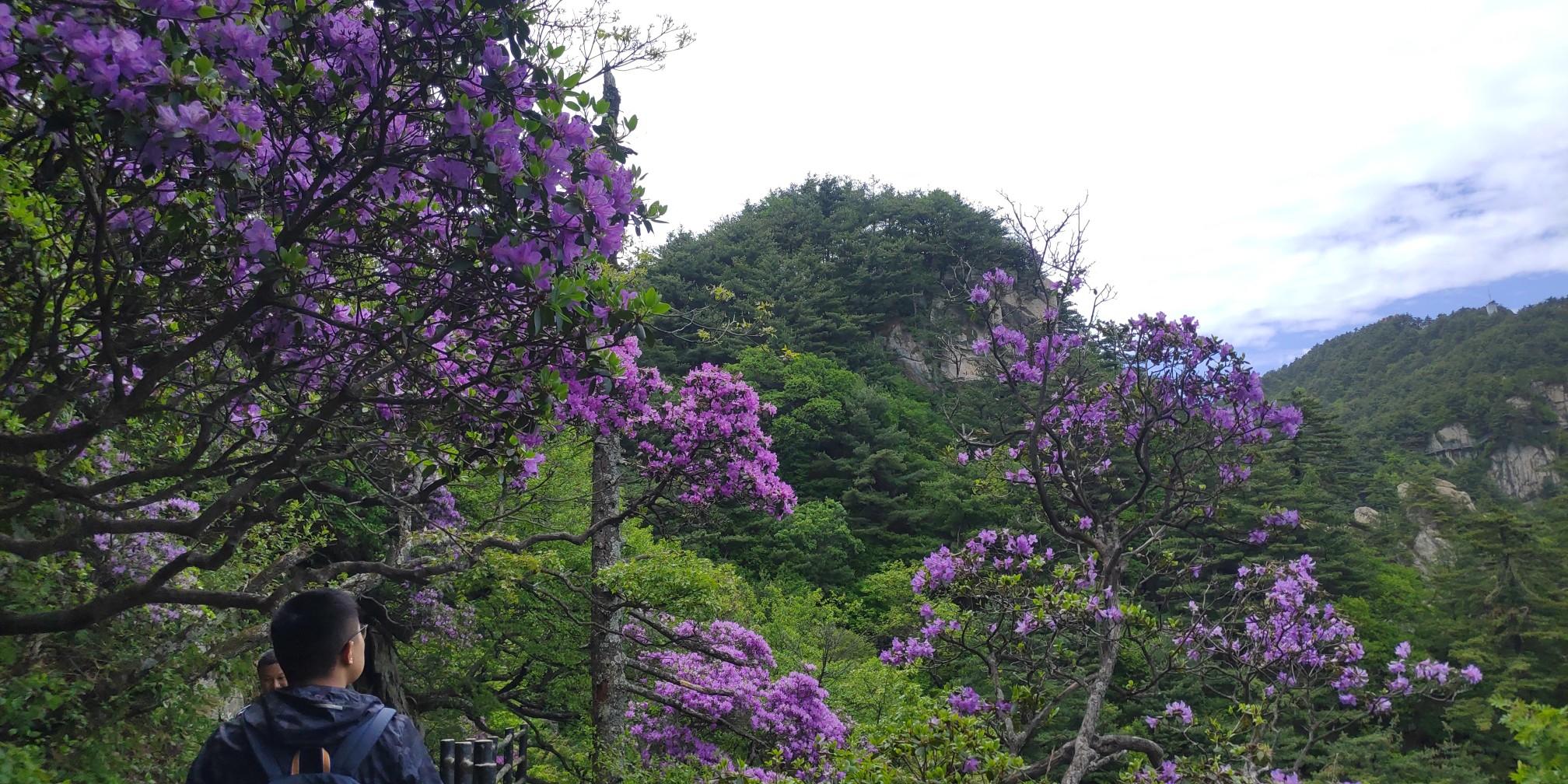 这个5月快来尧山打卡 看漫山杜鹃花开成海