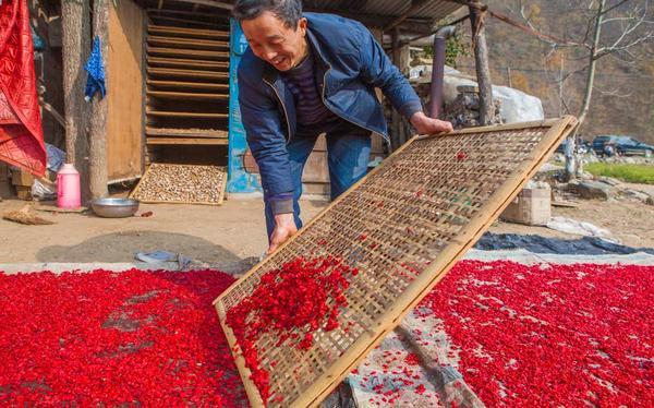 村民在整理晾晒采摘的山茱萸 (1)
