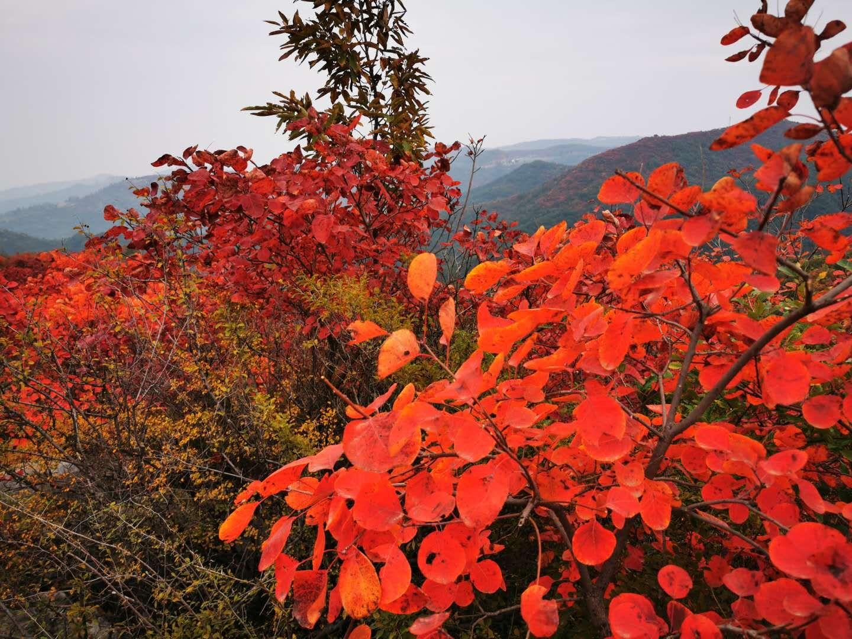 """河南哪里的红叶最亮眼? 红叶打卡地图新鲜""""出炉""""了"""