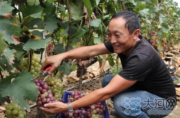 2018时时彩计划群qq:平顶山高新区引导群众发展特色种植_葡萄丰收乐农家