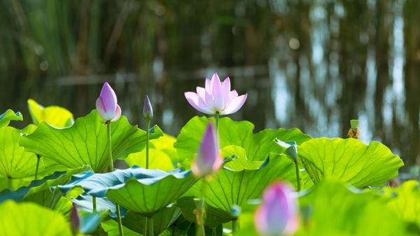 龙子湖-绿荷红菡萏