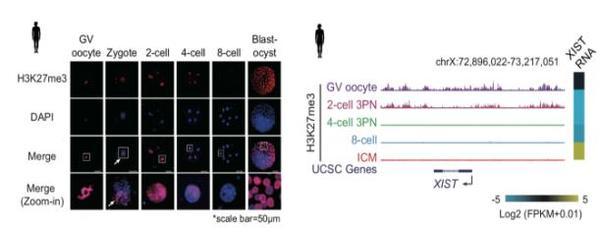 """郑大一附院专家组揭示人类早期胚胎发育""""表观基因组重启""""机制"""