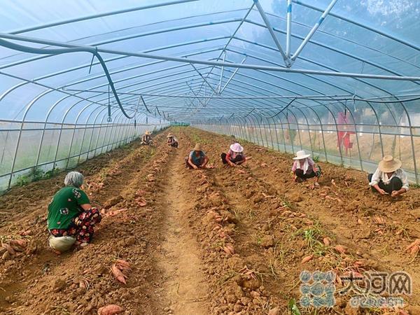"""叶县:大棚种植蜜薯 富了村民""""肥""""了集体"""