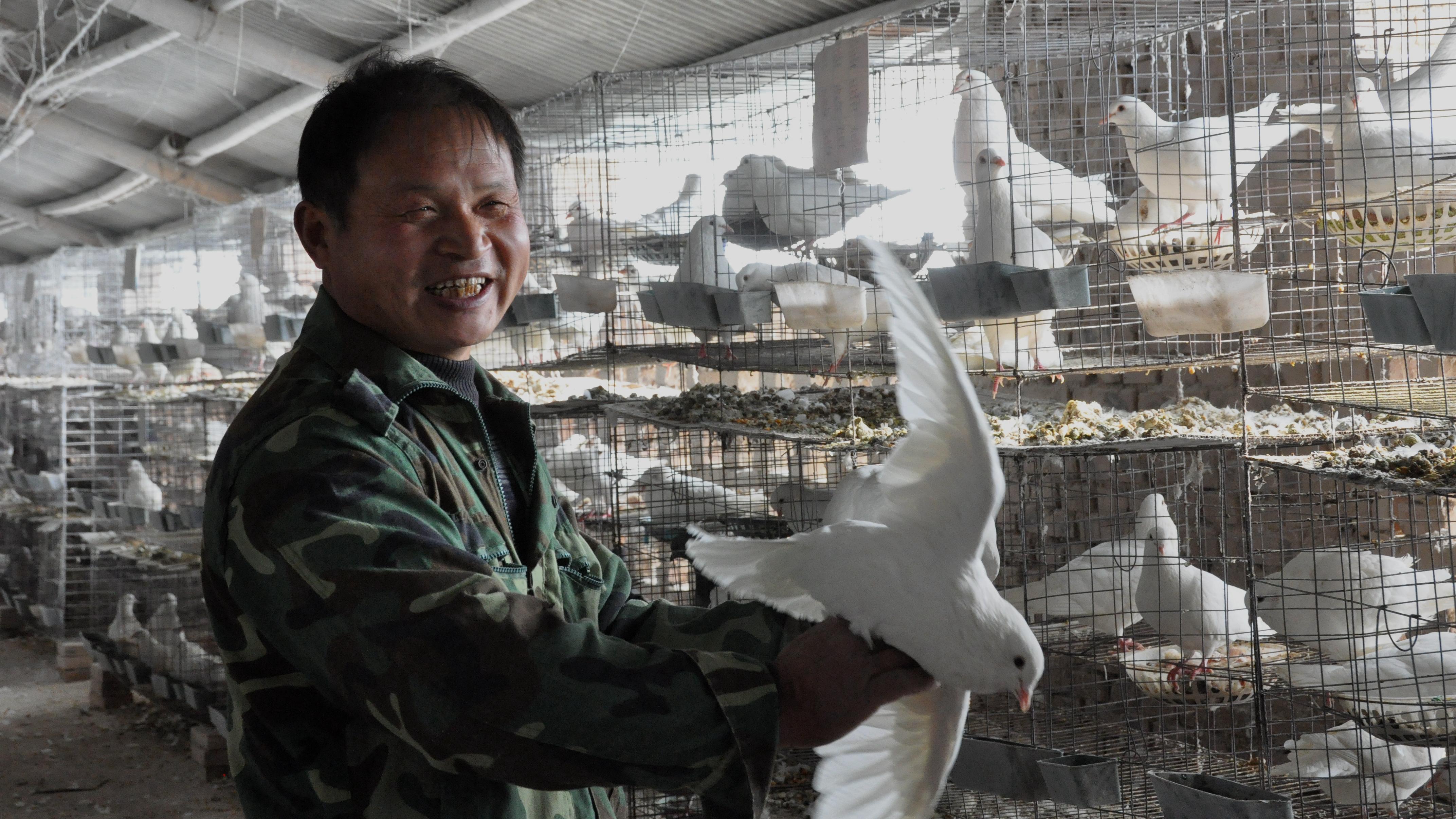 四通镇中营子行政村村民张卓强靠养殖肉鸽脱了贫。过去年人均收入不足千元,现在年人均收入近万元,一举摘掉了贫困户的帽子。  杜欣   摄