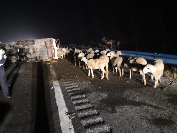 拉羊车高速路上被撞翻,民警深夜上路抓羊